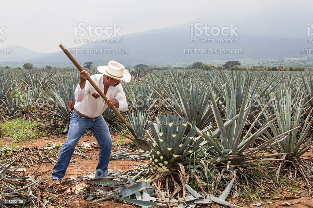 Jimador, Mexican farmer, harvesting agave for tequila stock photo