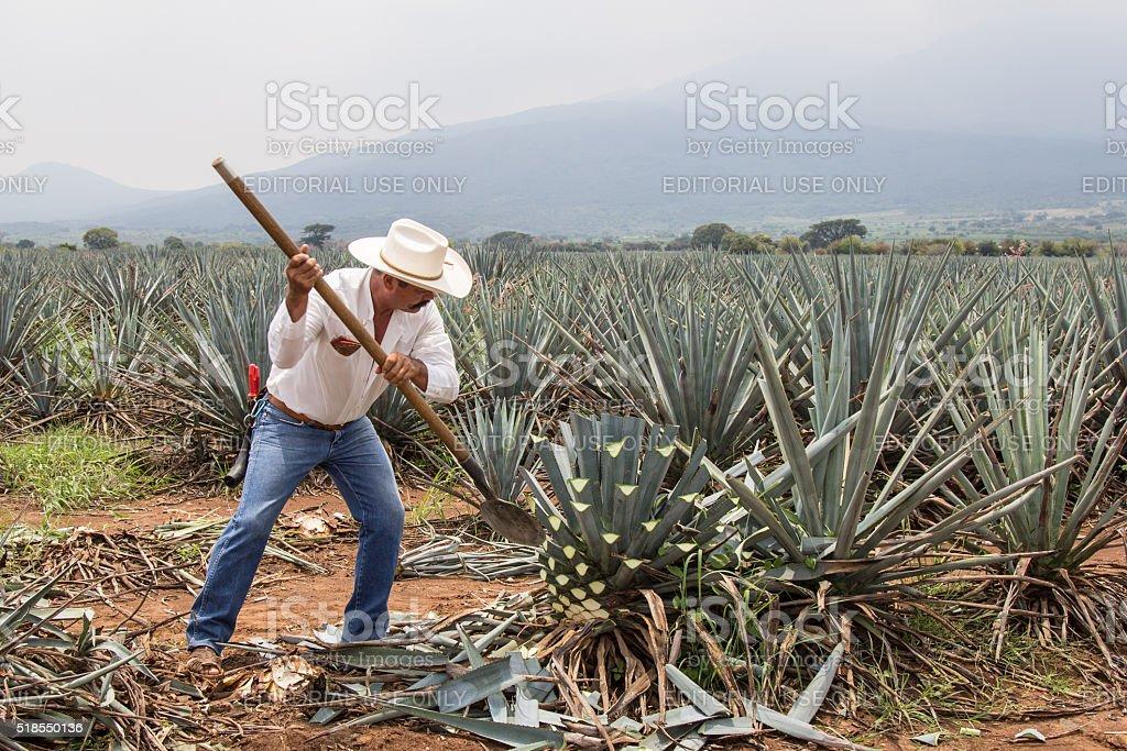 Jimador, mexikanische Bauer, ernten Agave für Tequila – Foto