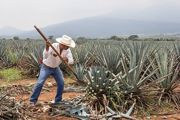 Jimador 、メキシコの農家、収穫アガーペのテキーラ ストックフォト