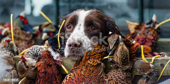 Tired Spaniel guarding the kill at the end of a days gamebird shoot