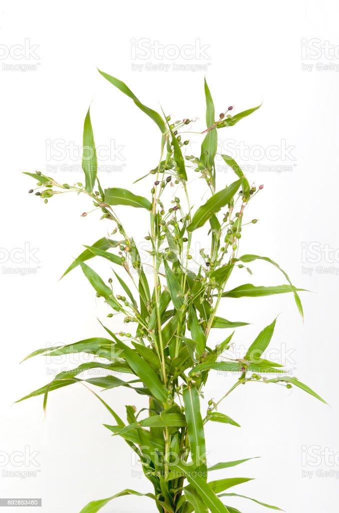 Job's tears ( coix lachryma-jobi )  of wild grass  on white background stock photo