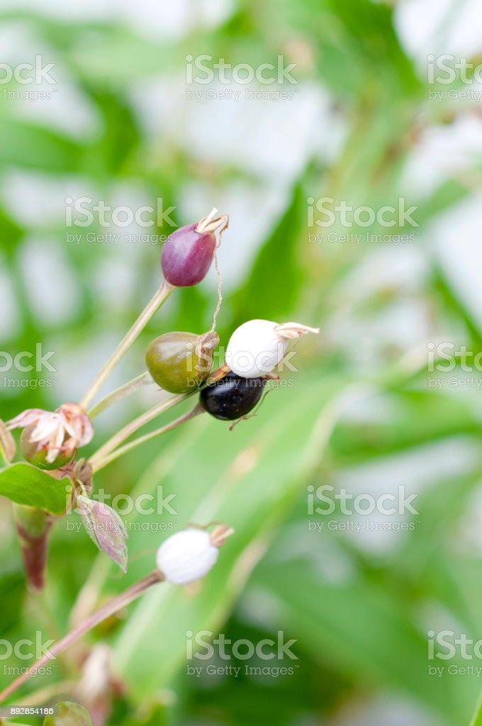 Job's tears ( coix lachryma-jobi ) of wild grass stock photo
