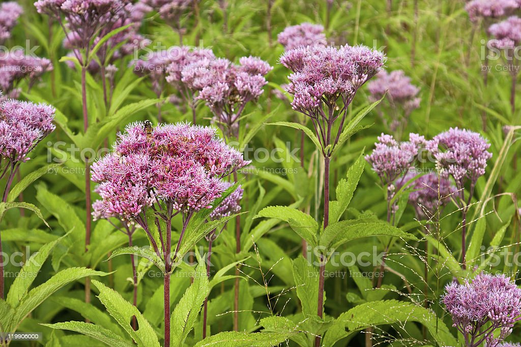 Joe Pye Weed Wild Flowers (Eutrochium) stock photo