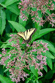 Joe Pye Weed with an Eastern Tiger Swallowtail Butterfly Gathering Nectar