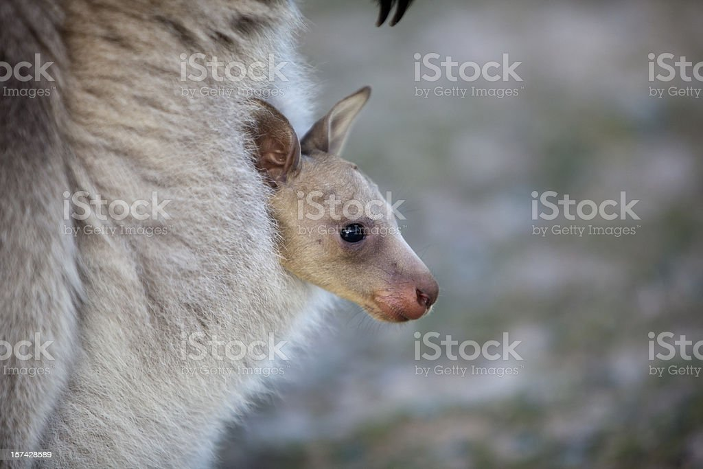 Joey in Pouch stock photo