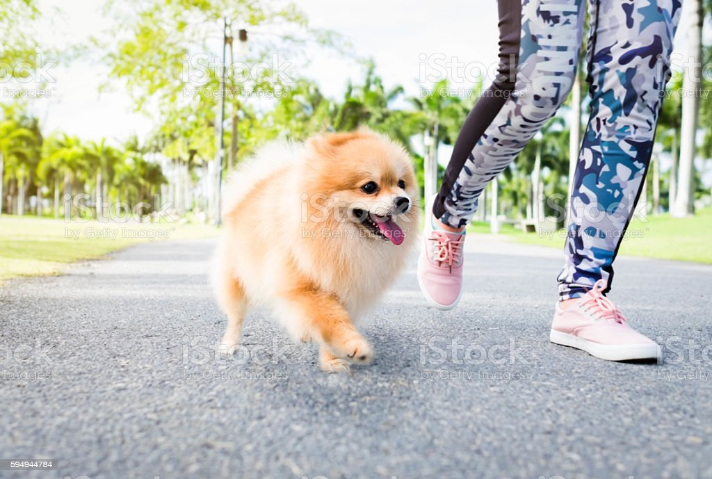Popular Pomeranian Canine Adorable Dog - jogging-with-her-pomeranian-dog-in-the-park-picture-id594944784  Gallery_797891  .com/photos/jogging-with-her-pomeranian-dog-in-the-park-picture-id594944784