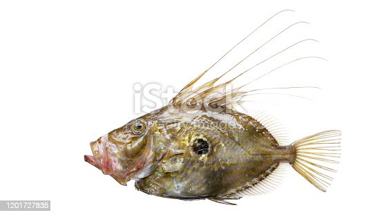 John Dory Fish With Clipping Path