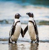 Antarctica King penguin ( Aptenodytes patagonicus )