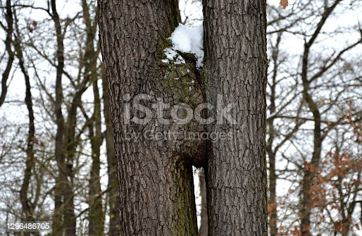 abrasion, bark, bast, beauty, branch, callus, cambium, cancer, circle, cold, collapse, contact, cortex, dendritic cells, dendrology, forest, friends, frozen, gray, green, growing, hypertrophy, ice, intersections, join, landscape, leaf, light, mesh, nature, noise, oak, outdoor, park, permanent, plant, powerful, quercus, robur, rural, snow, texture, together, tree, trees, trunk, trunks, two, winter, wood
