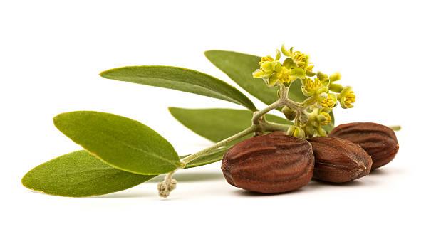 Jojobasamen und Blätter – Foto