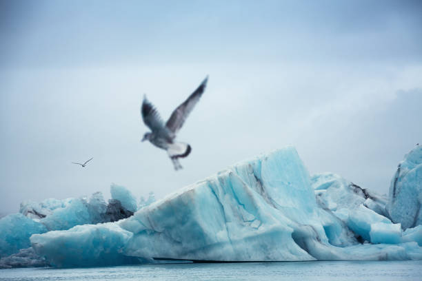 Jokulsarlon Glacial Lake Seagulls flying over icebergs in the Jokulsarlon glacial lake (South Iceland). jokulsarlon stock pictures, royalty-free photos & images