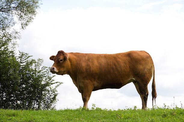 Jong cow stock photo