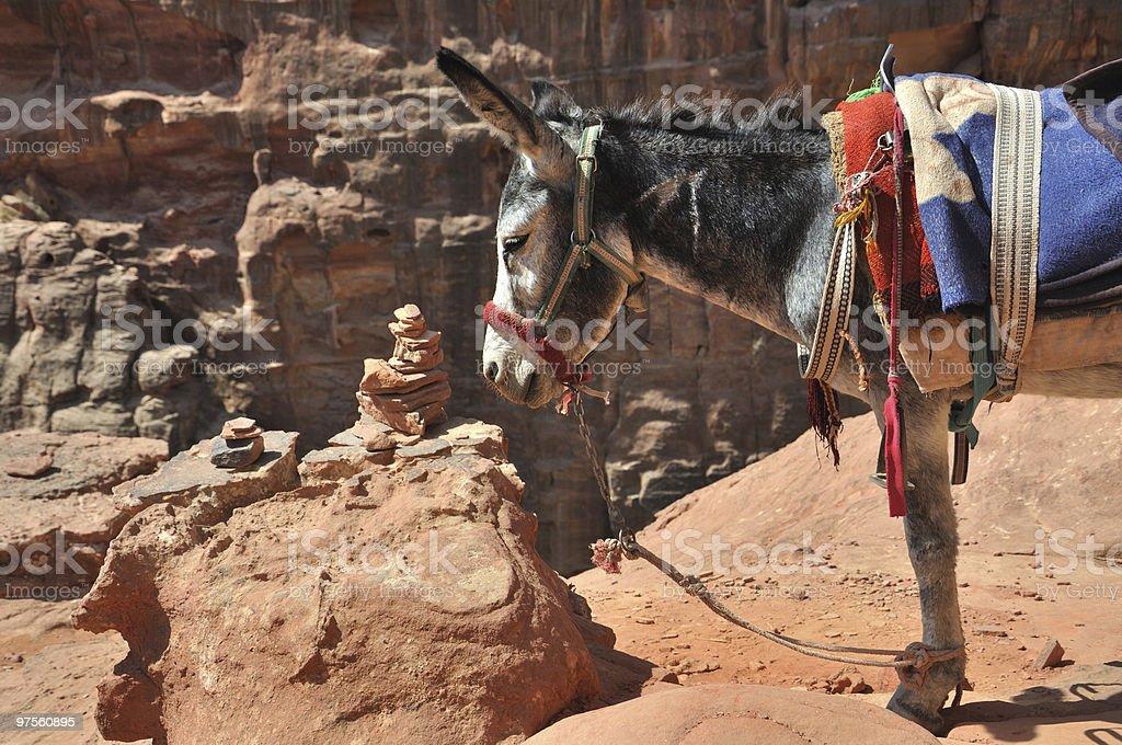 Jordanian Donkey at Petra royalty-free stock photo