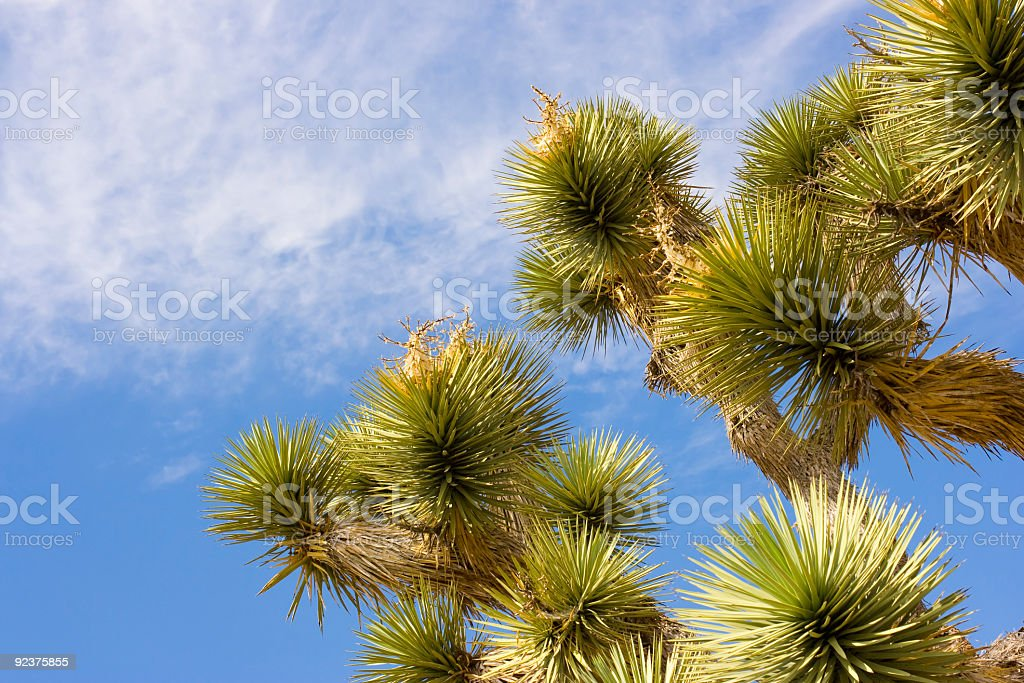 Joshua Tree and blue sky royalty-free stock photo