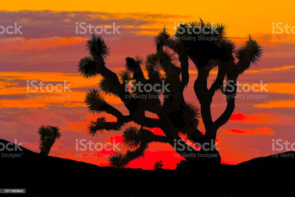 Joshua Tree at Sunset stock photo