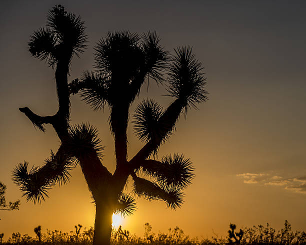 joshua tree at sunset - nzgmw2017 stock pictures, royalty-free photos & images