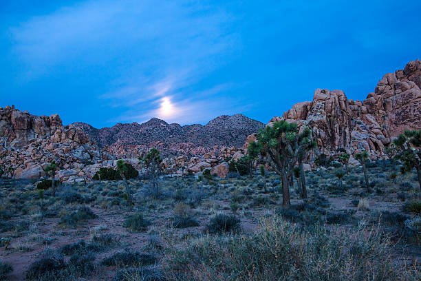 Joshua Tree by Moonlight stock photo