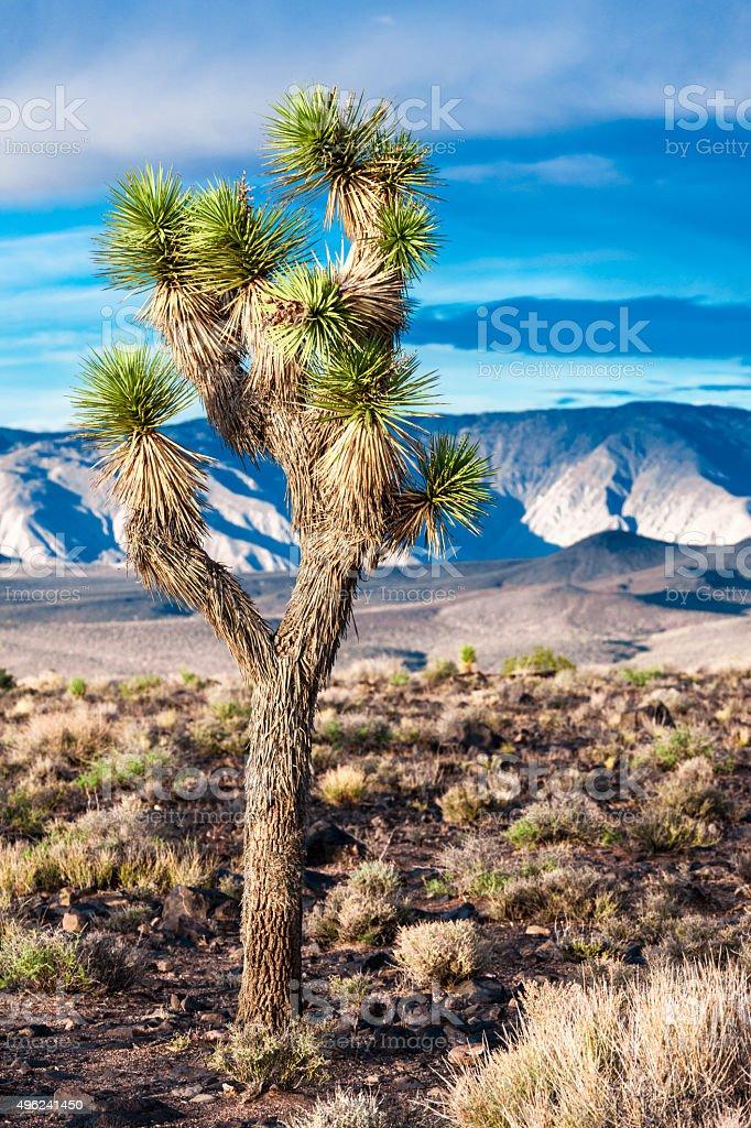 Joshua Tree, Death Valley, USA stock photo
