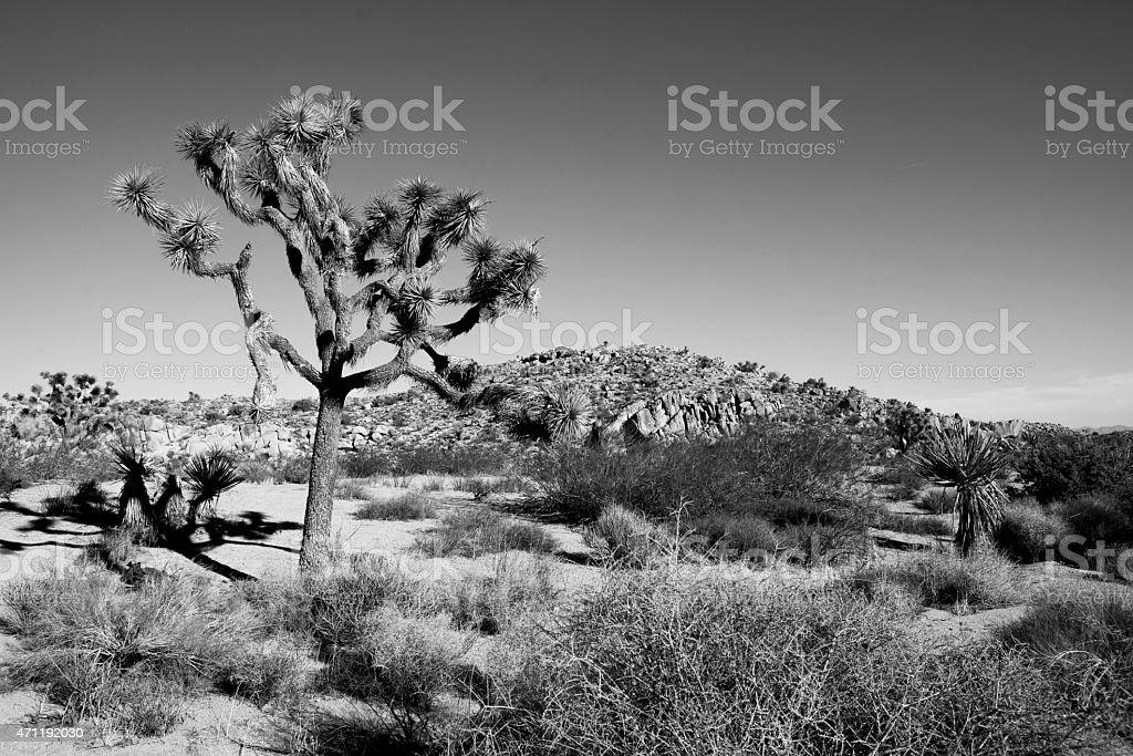 Joshua Tree in Black and White stock photo