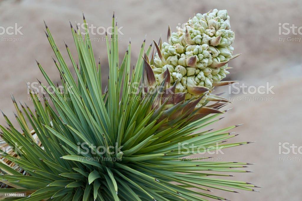 Joshua Tree in Bloom stock photo