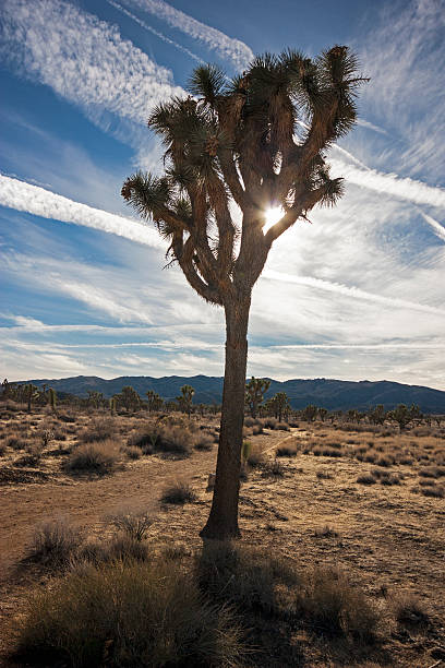 Joshua Tree in Low Winter Sun Joshua Tree National Park stock photo