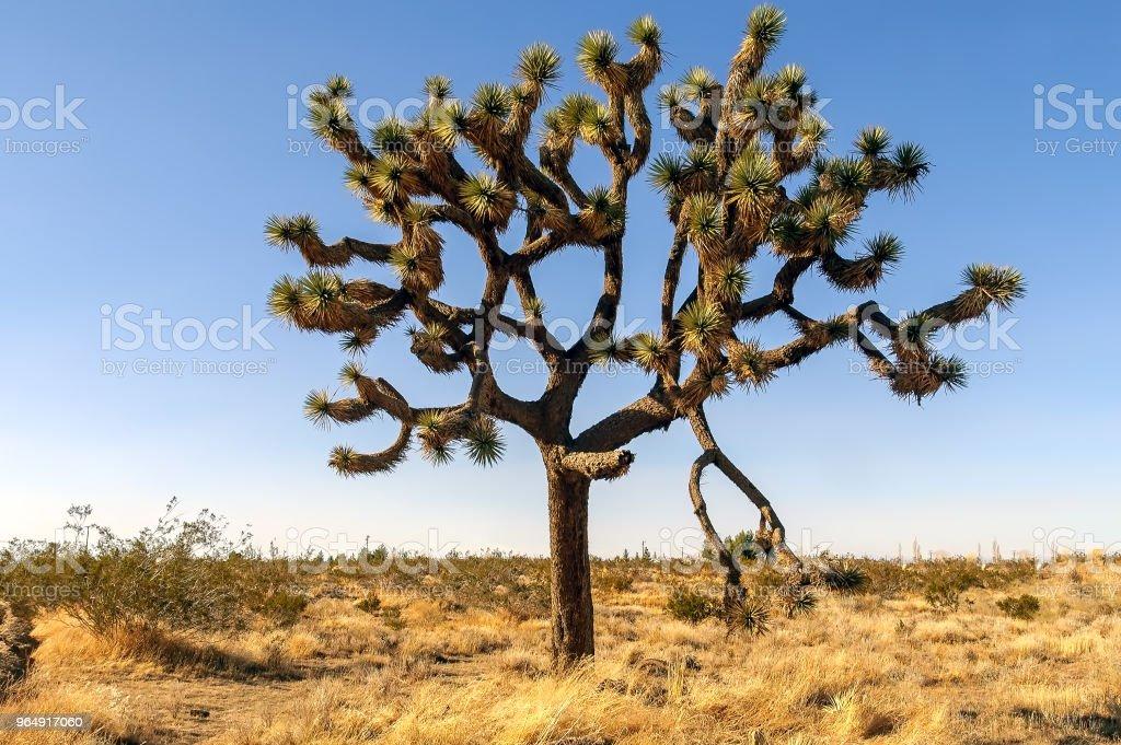 Joshua tree in the Mojave desert in California. royalty-free stock photo