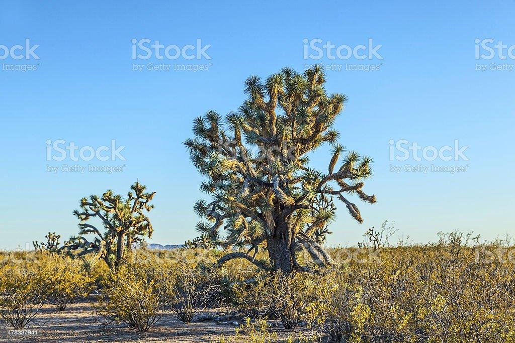 joshua tree in warm bright light royalty-free stock photo