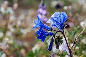 Joshua Tree National Park, California Wildflower Super Bloom, close-up of canterbury bell flower.