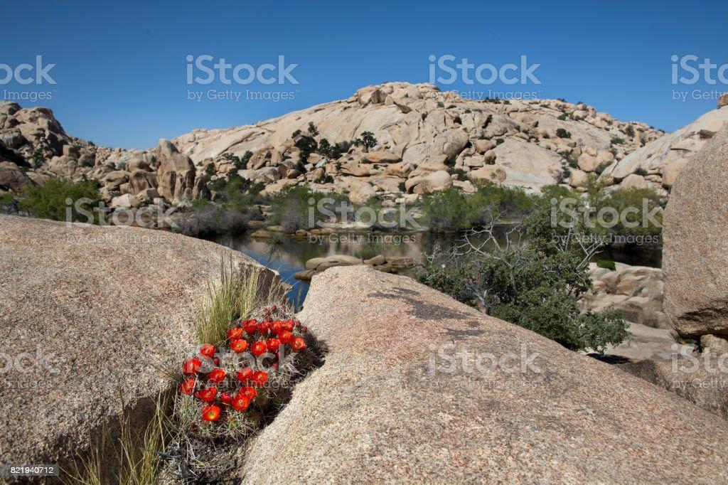 Joshua Tree National Park - Hedgehog Cactus stock photo