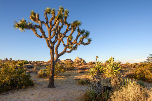 Joshua Tree National Park, Mojave Desert, California Joshua Tree National Park, Mojave Desert, California mojave desert stock pictures, royalty-free photos & images