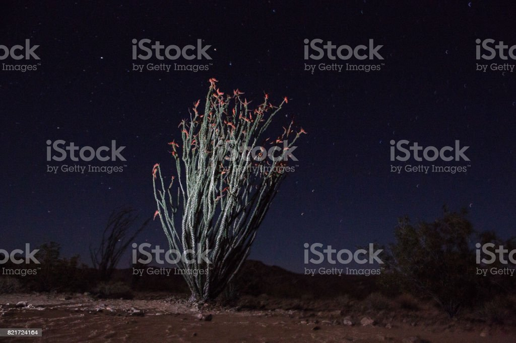Joshua Tree National Park - Ocotillo stock photo