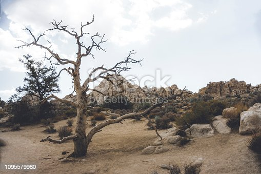 Analogical picture of a yucca tree in Joshua Tree National Park