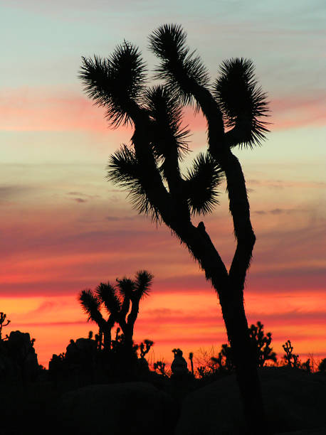 Joshua Tree National Park silhouette of joshua tree at sunset mojave desert stock pictures, royalty-free photos & images