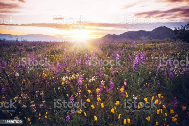 Joshua tree national park sunset on california wildflower super bloom picture id1136667629?b=1&k=6&m=1136667629&s=612x612&h=oaf2sztiocnbqdfkefik5gb 5bw6vsm3azy ayizrye=