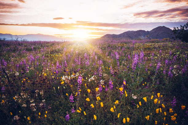 joshua tree national park, california wildflower süper bloom 2019 gün batımı - kır çiçeği stok fotoğraflar ve resimler