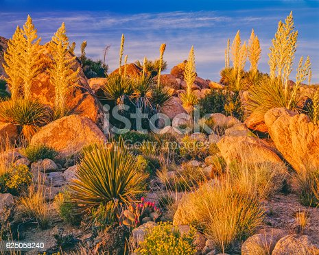 Early evening light gives a warm glow to the spring cactus blossoms in Joshua Tree National Park
