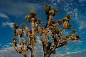 Joshua tree shot against the sky with clouds on a summer day in the Mojave Desert, USA