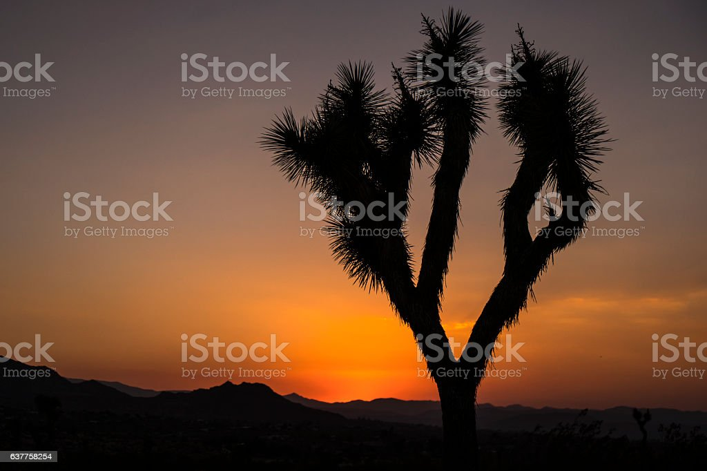 Joshua tree stock photo