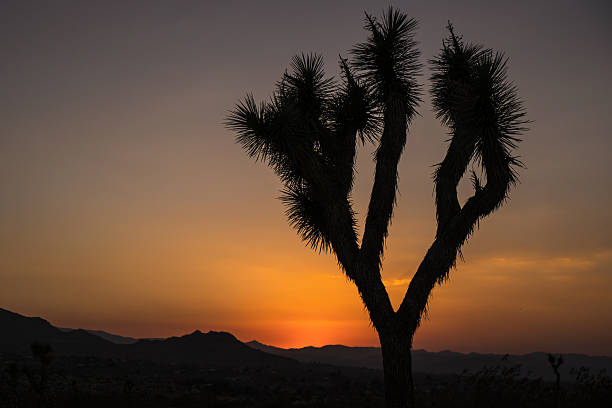 joshua tree - nzgmw2017 stock pictures, royalty-free photos & images