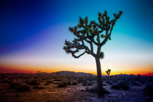 Joshua Tree A Joshua Tree within Joshua Tree National Park in California.   It is 'blue hour', that brief period immediately following sunset. san bernardino california stock pictures, royalty-free photos & images