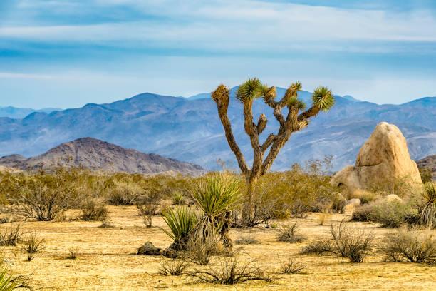 Joshua Tree Joshua Tree, or Yucca brevifolia, native to the arid southwestern United States. mojave desert stock pictures, royalty-free photos & images