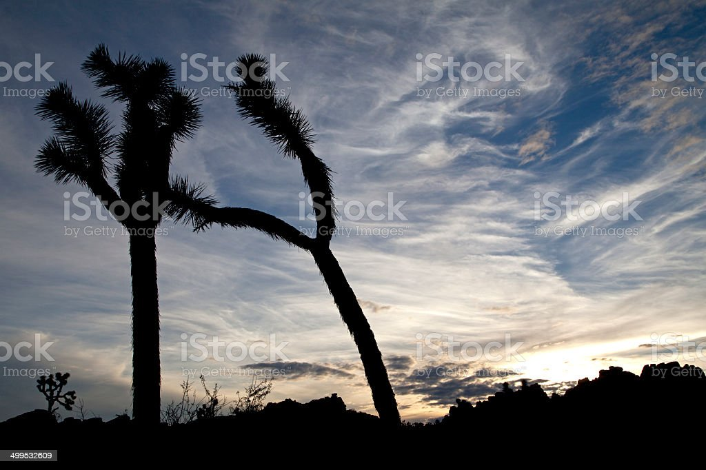 Joshua tree silhouettes and painterly sky, Joshua Tree National Park stock photo