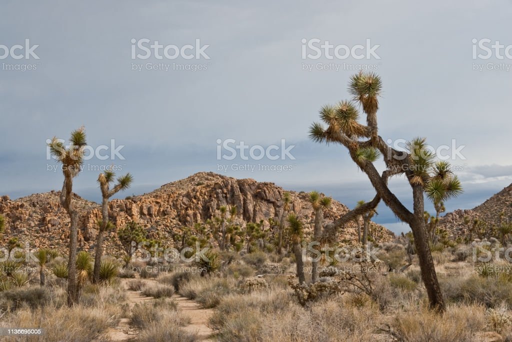 Joshua Trees and Gneiss Formation stock photo