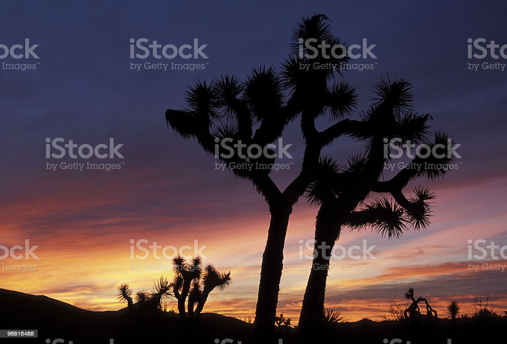 Joshua Trees at Dawn stock photo