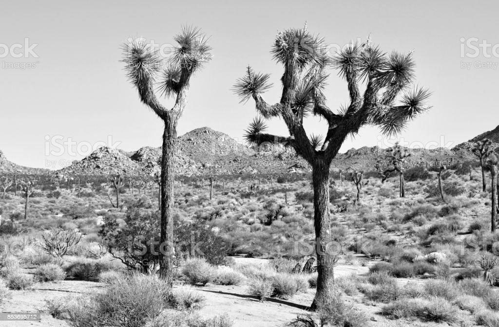 Joshua Tree's Iconic Trees stock photo