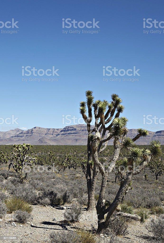 Joshua trees in Arizona stock photo