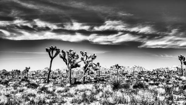 Joshua Trees in Bloom in black and white stock photo