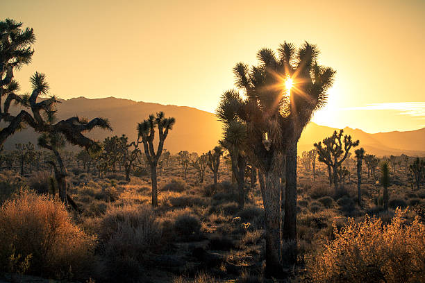 Joshua Trees (Yucca brevifolia), In Golden Haze of Setting Sun Joshua Trees (Yucca brevifolia) in a golden hour haze and lens flare as the sun begins to set behind the Mojave desert mountains of Joshua Tree National Park. mojave desert stock pictures, royalty-free photos & images