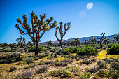 A large green Yucca tree in Southeastern California located at Mojave Desert