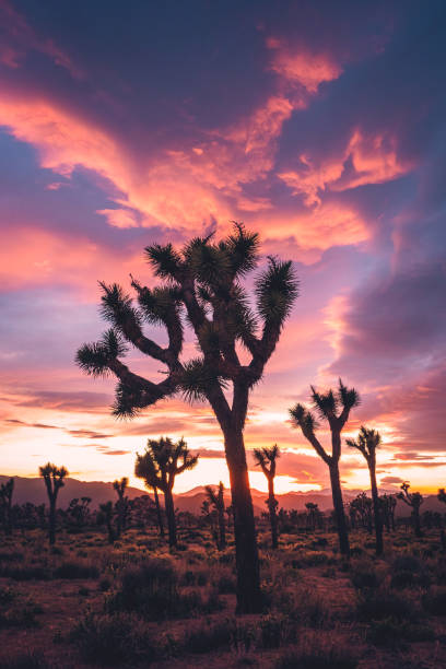 Joshua Trees in Stormy Spring Sunset stock photo